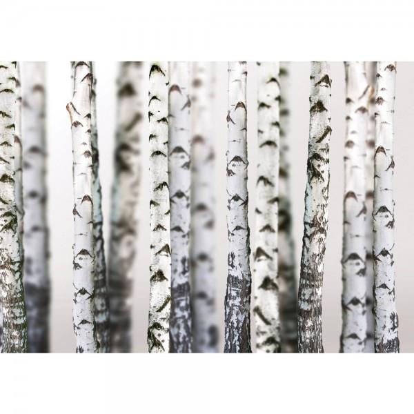 Fototapete Natur Tapete Bäume Birken Wald Stamm weiß   no. 2111