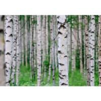 Fototapete Birch Forest II Wald Tapete Birkenwald 3D Perspektive Birke Stämme Wald grün | no. 81