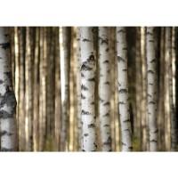 Fototapete Wald Tapete Bäume Birken Wald weiß | no. 2553