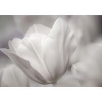 Fototapete White Tulips Ornamente Tapete Tulpen Blumen Blumenranke weiß grau Natur Pflanze weiß | no. 98