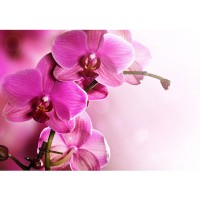 Fototapete Pink Orchid Ornamente Tapete Orchidee Blumen Blumenranke Rosa Pink Natur Pflanzen pink | no. 99