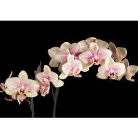 Fototapete Creamy Orchid Ornamente Tapete Orchidee Blumen Blumenranke Rosa Pink Natur Pflanzen rosa | no. 104