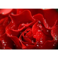 Fototapete A perfect Rose Blumen Tapete Blumen Rose Blüten Natur Liebe Love Blüte rot | no. 24